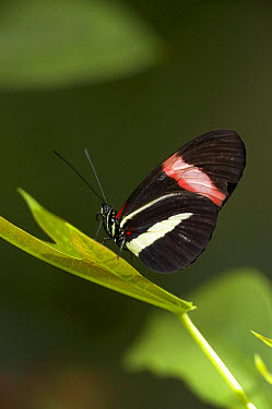Crimson-patched Longwing (Heliconius erato) butterfly on leaf, native to South America  -  ZSSD