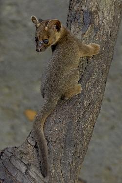 Fossa (Cryptoprocta ferox) baby climbing log, endangered, native to Madagascar  -  ZSSD