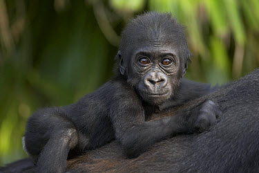 Western Lowland Gorilla (Gorilla gorilla gorilla) baby clinging to mother's back, critically endangered, native to Africa  -  ZSSD
