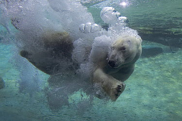Polar Bear (Ursus maritimus) swimming underwater, native to pan-arctic  -  ZSSD