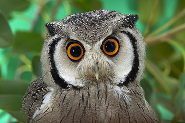 Southern White-faced Owl (Ptilopsis granti) portrait, native to southern Africa  -  ZSSD
