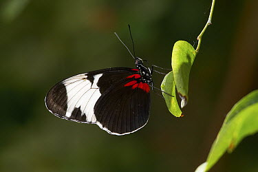Blue Longwing Butterfly (Heliconius cydno) sitting on leaf  -  ZSSD