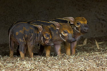 Red River Hog (Potamochoerus porcus) three piglets, native to Africa  -  ZSSD