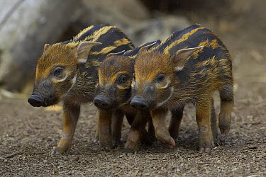 Red River Hog (Potamochoerus porcus) piglet trio, a highly social bush pig native to Africa, San Diego Zoo, California  -  ZSSD