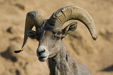 Bighorn Sheep (Ovis canadensis) male, native to North America, San Diego Zoo Safari Park, California  -  ZSSD