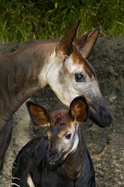 Okapi (Okapia johnstoni) mother and calf, native to Africa  -  ZSSD