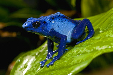 Blue Poison Dart Frog (Dendrobates azureus) very tiny poisonous frog, Indian tribes use poison for arrows, native to South America, San Diego Zoo, California  -  ZSSD