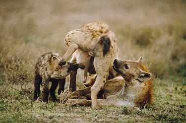 Spotted Hyena (Crocuta crocuta) mother nursing pup while another Hyena sniffs her for identification, Serengeti  -  Mitsuaki Iwago