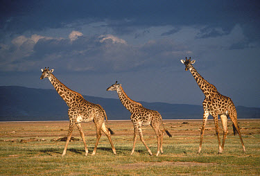 Masai Giraffe (Giraffa tippelskirchi) trio crossing grasslands, Serengeti National Park, Tanzania  -  Mitsuaki Iwago