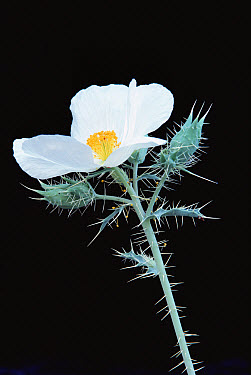 Prickly Poppy (Argemone polyanthemos) flower, Baja California, Mexico  -  Larry Minden
