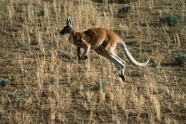 Red Kangaroo (Macropus rufus) hopping through dry grass, Australia  -  Mitsuaki Iwago