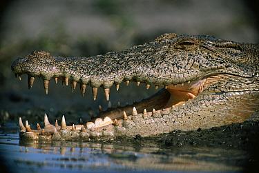 Freshwater Crocodile (Crocodylus johnstoni) with an open mouth, Australia  -  Mitsuaki Iwago