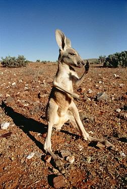 Red Kangaroo (Macropus rufus) juvenile scratching its nose, Australia  -  Mitsuaki Iwago