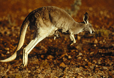Red Kangaroo (Macropus rufus) mother hopping with young in pouch, Australia  -  Mitsuaki Iwago