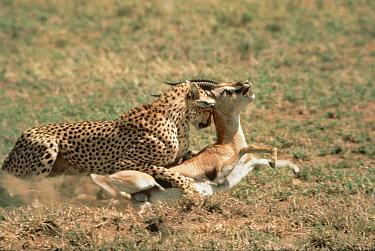 Cheetah (Acinonyx jubatus) attacking Thomson's Gazelle (Eudorcas thomsonii), Serengeti, Tanzania  -  Mitsuaki Iwago
