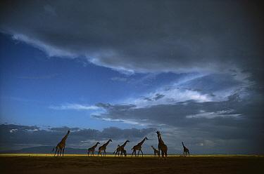 Masai Giraffe (Giraffa tippelskirchi) herd crossing grasslands, Serengeti National Park, Tanzania  -  Mitsuaki Iwago