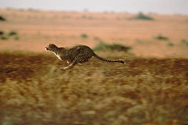 Cheetah (Acinonyx jubatus) a vunerable species, running on grasslands, Serengeti  -  Mitsuaki Iwago