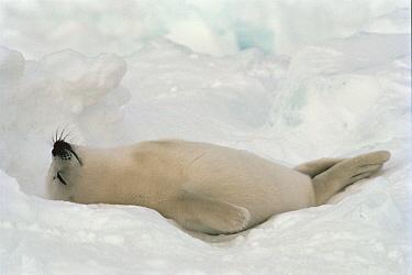 Harp Seal (Phoca groenlandicus) pup sleeping, Gulf of St Lawrence, Canada  -  Mitsuaki Iwago