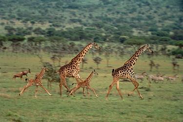 Masai Giraffe (Giraffa tippelskirchi) mothers and young running, Serengeti National Park, Tanzania  -  Mitsuaki Iwago