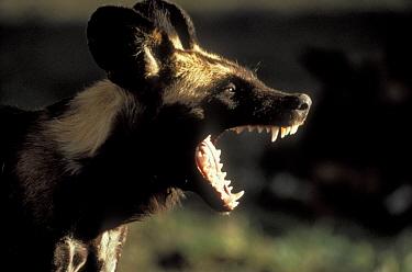African Wild Dog (Lycaon pictus) calling, Serengeti National Park, Tanzania  -  Mitsuaki Iwago