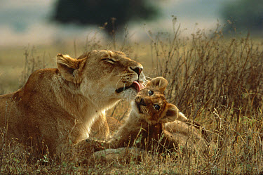 African Lion (Panthera leo) mother licking cub, Serengeti National Park, Tanzania  -  Mitsuaki Iwago