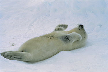 Harp Seal (Phoca groenlandicus) pup scratching its ear, Gulf of St Lawrence, Canada  -  Mitsuaki Iwago