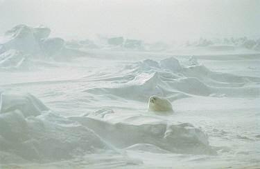Harp Seal (Phoca groenlandicus) pup in blizzard, Gulf of St Lawrence, Canada  -  Mitsuaki Iwago