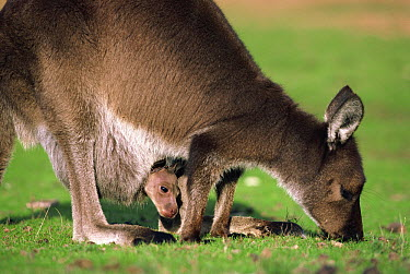 Western Grey Kangaroo (Macropus fuliginosus) mother grazing with joey in pouch, Australia  -  Mitsuaki Iwago