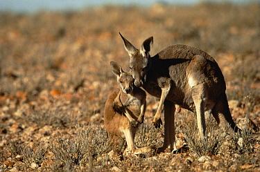 Red Kangaroo (Macropus rufus) mother embracing joey, Sturt National Park, New South Wales, Australia  -  Mitsuaki Iwago