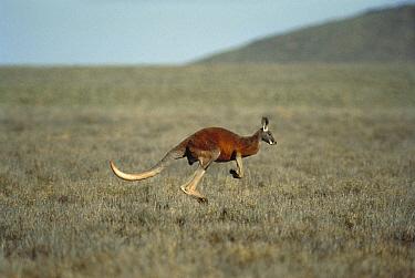 Red Kangaroo (Macropus rufus) hopping across landscape, Australia  -  Mitsuaki Iwago