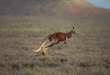 Red Kangaroo (Macropus rufus) hopping, Australia  -  Mitsuaki Iwago
