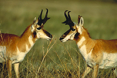 Pronghorn Antelope (Antilocapra americana) males facing off, South Dakota  -  Jim Brandenburg