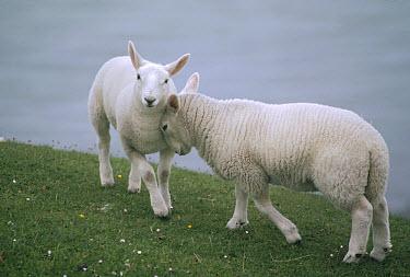 Domestic Sheep (Ovis aries) pair interacting affectionately, Faraid Head, Scotland  -  Jim Brandenburg