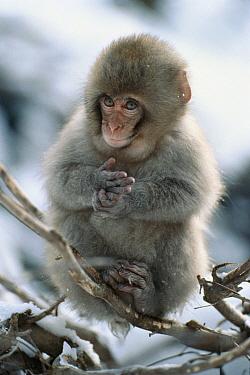 Japanese Macaque (Macaca fuscata) baby sitting in tree, Japan  -  Mitsuaki Iwago