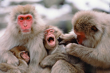 Japanese Macaque (Macaca fuscata) group grooming with one calling, Japan  -  Mitsuaki Iwago