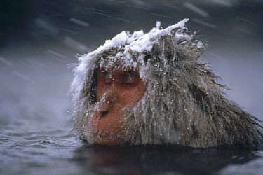 Japanese Macaque (Macaca fuscata) soaking in hot springs during snow storm, Japan  -  Mitsuaki Iwago