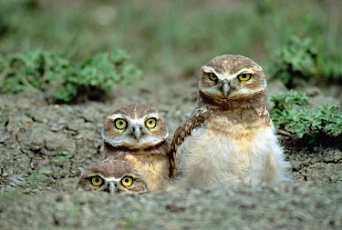Burrowing Owl (Athene cunicularia) trio peeking out of burrow in tallgrass prairie, South Dakota