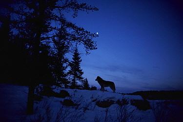 Timber Wolf (Canis lupus) under moonlit sky, Northwoods, Minnesota  -  Jim Brandenburg