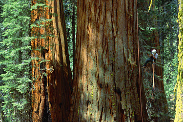 Giant Sequoia (Sequoiadendron giganteum) researcher, Amanda le Braun, climbs tree, Sequoia National Park, California  -  Mark Moffett