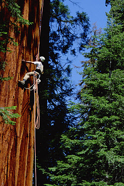 Giant Sequoia (Sequoiadendron giganteum) climbed by Steve Sillett as part of canopy research project, Sequoia National Park, California  -  Mark Moffett