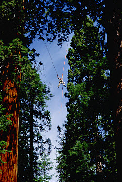Giant Sequoia (Sequoiadendron giganteum) researcher Steve Sillett moves between trees as part of canopy research project, Sequoia National Park, California  -  Mark Moffett