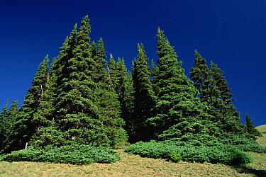 Subalpine Fir (Abies lasiocarpa) trees on hurricane ridge, Olympic Peninsula, Washington  -  Mark Moffett