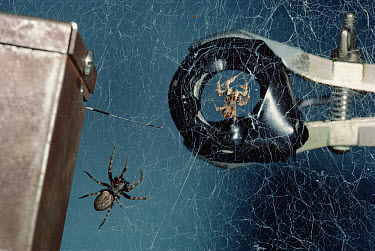 Jumping Spider (Portia fimbriata) hunting behavior imitated by magnet by vibrating spider web, part of Stim Wilcox's research, Queensland, Australia  -  Mark Moffett