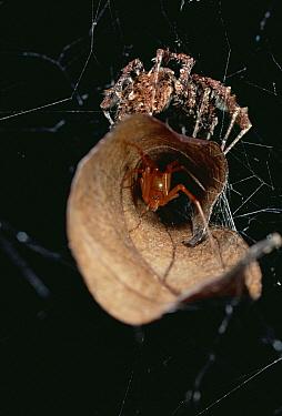 Jumping Spider (Portia fimbriata) atop leaf nest of aggressive Spider (Achaearanea camura) creates vibrations to draw Achaearanea out for kill, Queensland, Australia  -  Mark Moffett