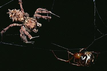 Jumping Spider (Achaearanea camura) crawls out of nest to investigate web vibrations of Jumping Spider (Portia fimbriata) and walks into Portia's trap, Queensland, Australia  -  Mark Moffett