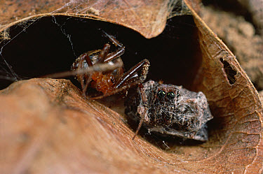 Spider (Achaearanea camura) from nearby web, startled by JumpingSpider's (Portia fimbriata) movements, covers Portia in sticky silk, and the predator becomes the prey, Queensland, Australia  -  Mark Moffett