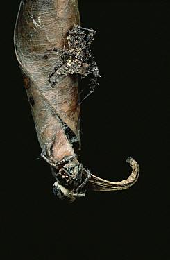 Jumping Spider (Euryattus sp) female lured from nest by Jumping Spider (Portia fimbriata) mimicking mating leaf-rocking of male Spider (Euryattus sp), Queensland, Australia  -  Mark Moffett
