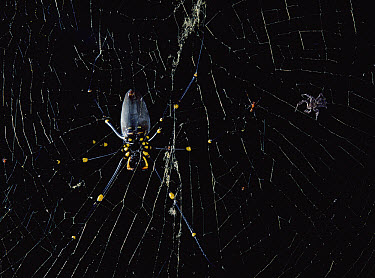Jumping Spider (Portia fimbriata) avoids huge female Giant Wood Spider (Nephila maculata) and stalks tiny male on same web, Queensland, Australia  -  Mark Moffett