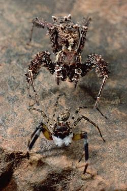 Jumping Spider (Portia fimbriata) stalking jumping spider, if the sharp eyed quarry turns around Portia poses as debris, Queensland, Australia  -  Mark Moffett