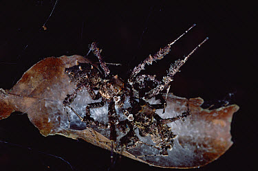 Jumping Spider (Portia fimbriata) females fighting over eggs and nest, such battles often result in maiming or death, Queensland, Australia  -  Mark Moffett